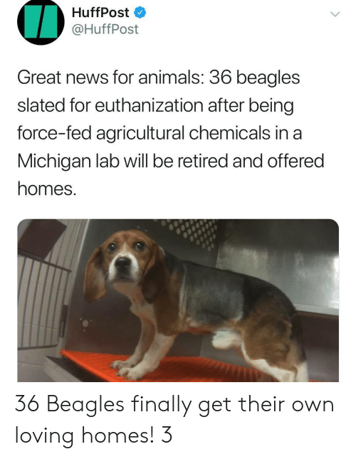 Huffpost: HuffPost  @HuffPost  Great news for animals. 36 beagles  slated for euthanization after being  force-fed agricultural chemicals in a  Michigan lab will be retired and offered  homes. 36 Beagles finally get their own loving homes! 3
