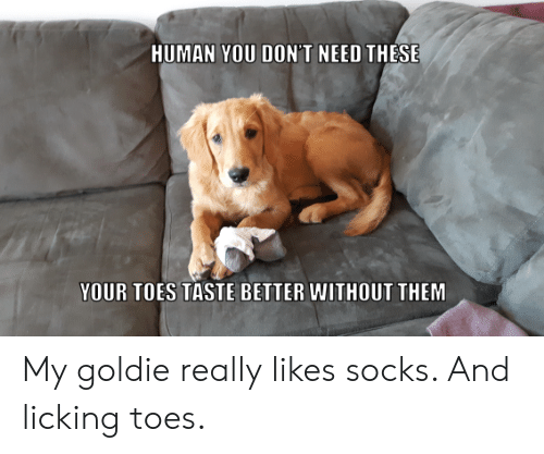 toes: HUMAN YOU DON'T NEED THESE  YOUR TOES TASTE BETTER WITHOUT THEM My goldie really likes socks. And licking toes.