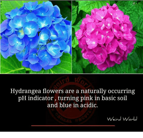Basicness: Hydrangea flowers are a naturally occurring  pH indicator, turning pink in basic soil  and blue in acidic.  Weird World