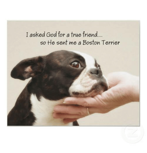 Boston Terrier: I asked God for a true friend...  so He sent me a Boston Terrier