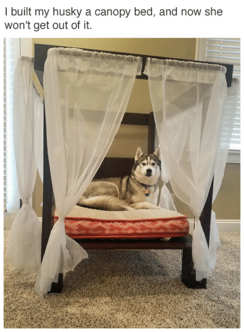 Out Of It: I built my husky a canopy bed, and now she  won't get out of it.