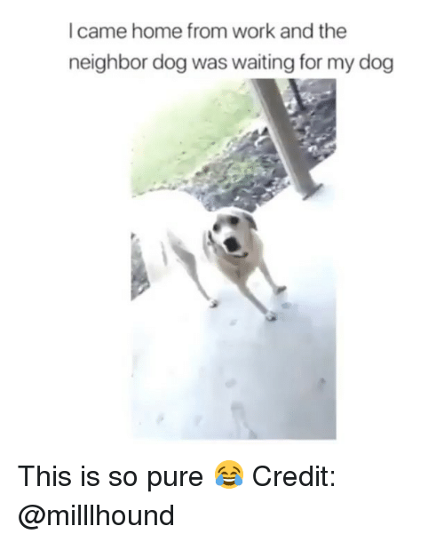Memes, Work, and Home: I came home from work and the  neighbor dog was waiting for my dog This is so pure 😂 Credit: @milllhound