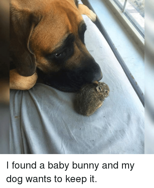 baby bunnies: I found a baby bunny and my dog wants to keep it.