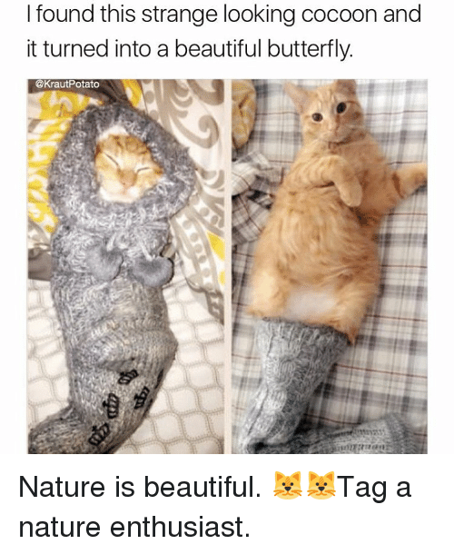 beautiful butterfly: I found this strange looking cocoon and  it turned into a beautiful butterfly.  @KrautPotato Nature is beautiful. 🐱🐱Tag a nature enthusiast.