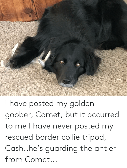 goober: I have posted my golden goober, Comet, but it occurred to me I have never posted my rescued border collie tripod, Cash..he's guarding the antler from Comet...