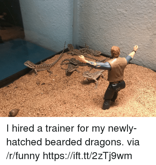 Bearded: I hired a trainer for my newly-hatched bearded dragons. via /r/funny https://ift.tt/2zTj9wm
