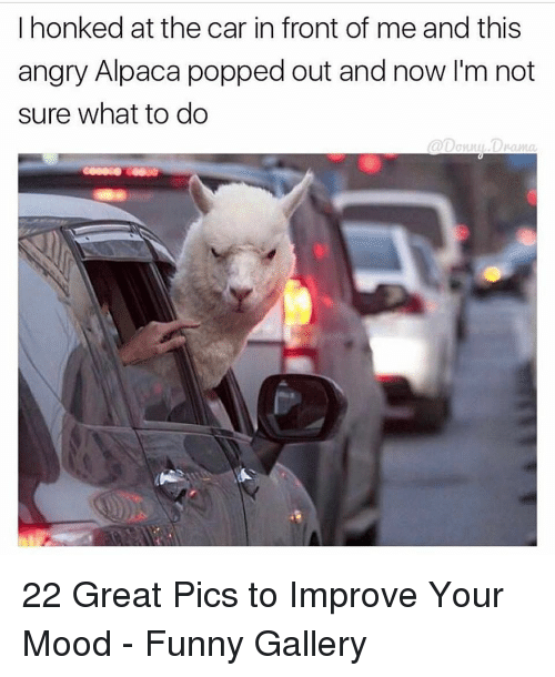 Funny, Mood, and Angry: I honked at the car in front of me and this  angry Alpaca popped out and now I'm not  sure what to do  @[Jonn사.DV-anta 22 Great Pics to Improve Your Mood - Funny Gallery