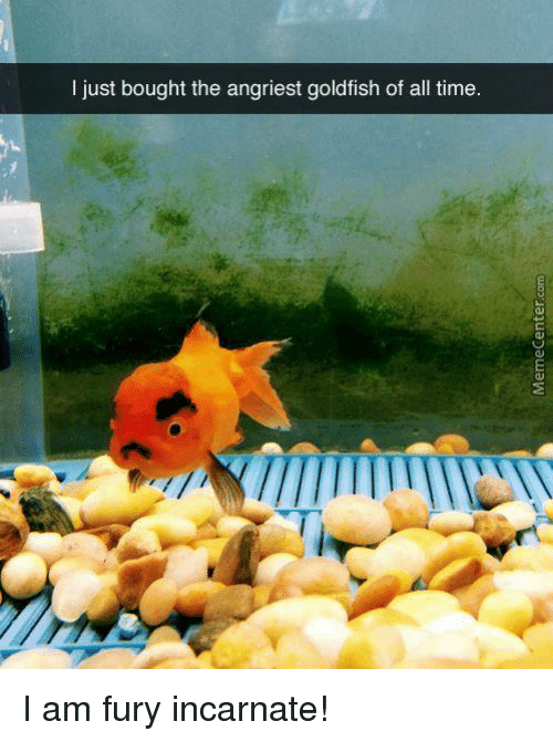 Angriest: I just bought the angriest goldfish of all time I am fury incarnate!
