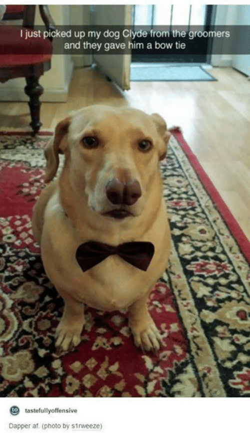 tastefully offensive: I just picked up my dog Clyde from the groomers  and they gave him a bow tie  to tastefully offensive  Dapper af. (photo by s1rweeze)