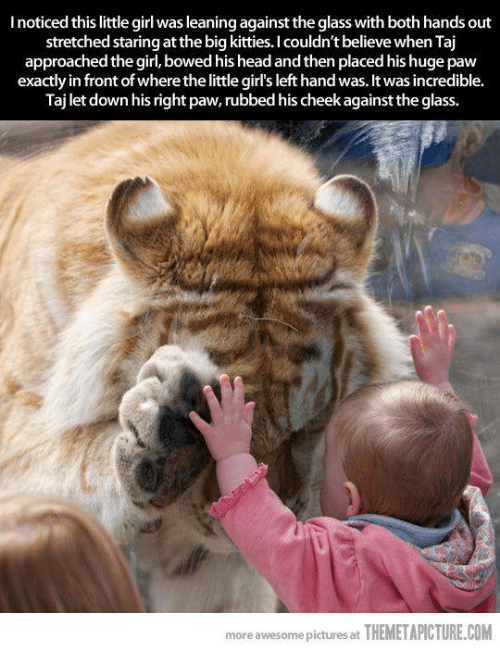 Themetapictures: I noticed this little girl wasleaningagainst the glass with both hands out  stretched staring at the big kitties. I couldn't believe when Taj  approached the girl, bowed his headand then placed his huge paw  exactly in front ofwhere thelittle girl's left hand was. It was incredible.  Taj let down his right paw, rubbed his cheek against the glass.  more awesome pictures at THEMETAPICTURE.COM