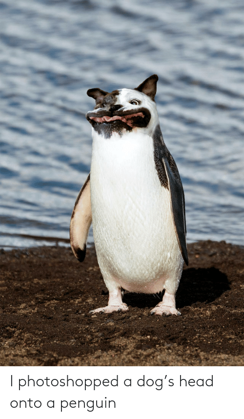 photoshopped: I photoshopped a dog's head onto a penguin