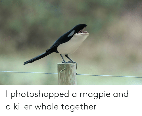 magpie: I photoshopped a magpie and a killer whale together