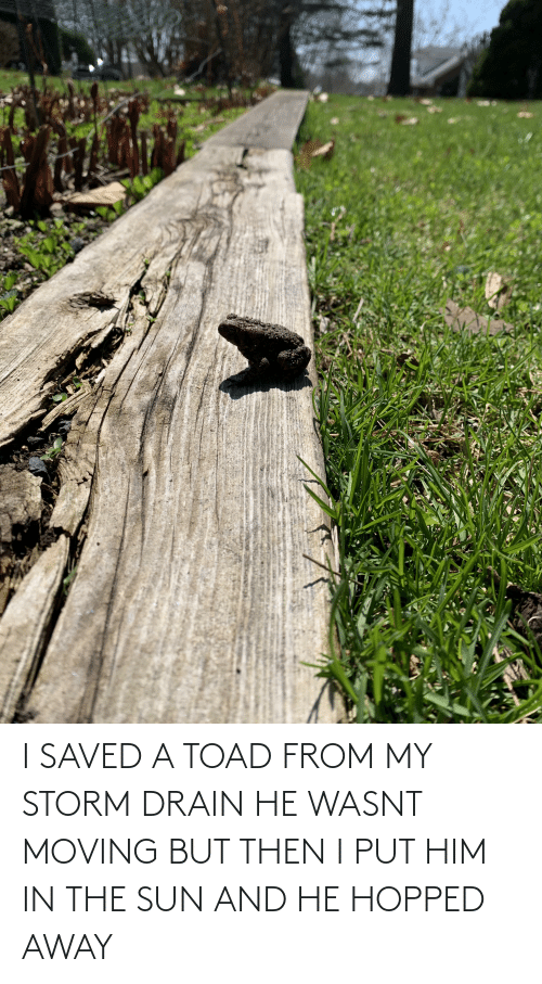 toad: I SAVED A TOAD FROM MY STORM DRAIN HE WASNT MOVING BUT THEN I PUT HIM IN THE SUN AND HE HOPPED AWAY
