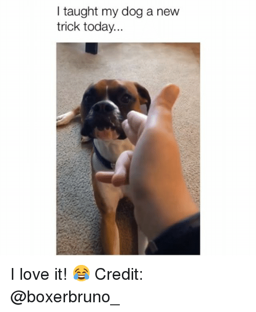 Love, Memes, and Today: I taught my dog a new  trick today... I love it! 😂 Credit: @boxerbruno_