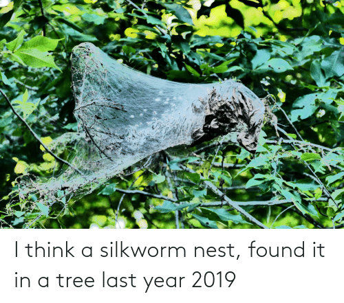 Nest: I think a silkworm nest, found it in a tree last year 2019