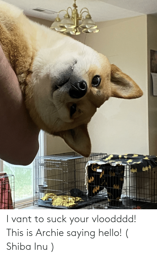 Shiba Inu: I vant to suck your vloodddd! This is Archie saying hello! ( Shiba Inu )