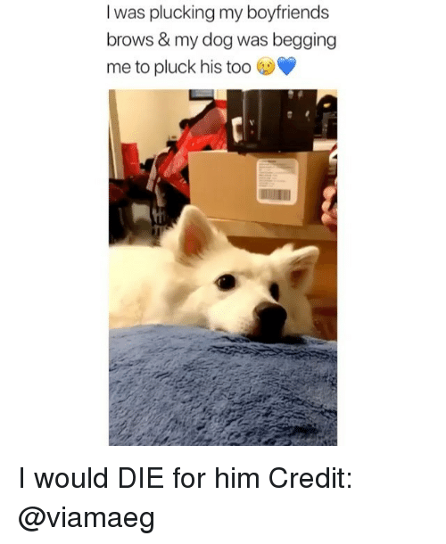 Memes, 🤖, and Dog: I was plucking my boyfriends  brows & my dog was begging  me to pluck his too I would DIE for him Credit: @viamaeg