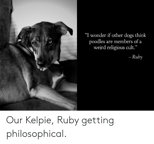 "Dogs, Weird, and Wonder: ""I wonder if other dogs think  poodles are members of a  weird religious cult.""  - Ruby Our Kelpie, Ruby getting philosophical."