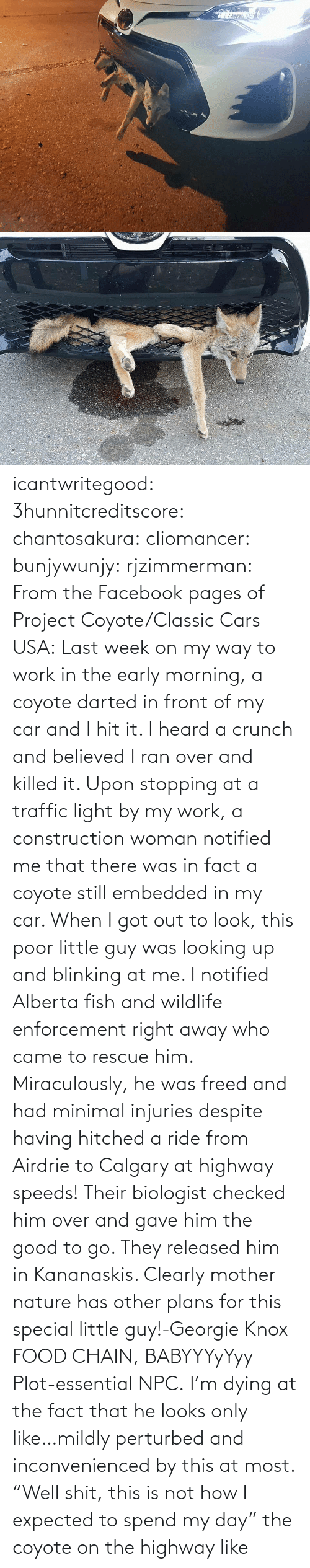 "pages: icantwritegood: 3hunnitcreditscore:  chantosakura:  cliomancer:  bunjywunjy:  rjzimmerman:  From the Facebook pages of Project Coyote/Classic Cars USA: Last week on my way to work in the early morning, a coyote darted in front of my car and I hit it. I heard a crunch and believed I ran over and killed it. Upon stopping at a traffic light by my work, a construction woman notified me that there was in fact a coyote still embedded in my car. When I got out to look, this poor little guy was looking up and blinking at me. I notified Alberta fish and wildlife enforcement right away who came to rescue him. Miraculously, he was freed and had minimal injuries despite having hitched a ride from Airdrie to Calgary at highway speeds! Their biologist checked him over and gave him the good to go. They released him in Kananaskis. Clearly mother nature has other plans for this special little guy!-Georgie Knox  FOOD CHAIN, BABYYYyYyy  Plot-essential NPC.   I'm dying at the fact that he looks only like…mildly perturbed and inconvenienced by this at most.    ""Well shit, this is not how I expected to spend my day""  the coyote on the highway like"