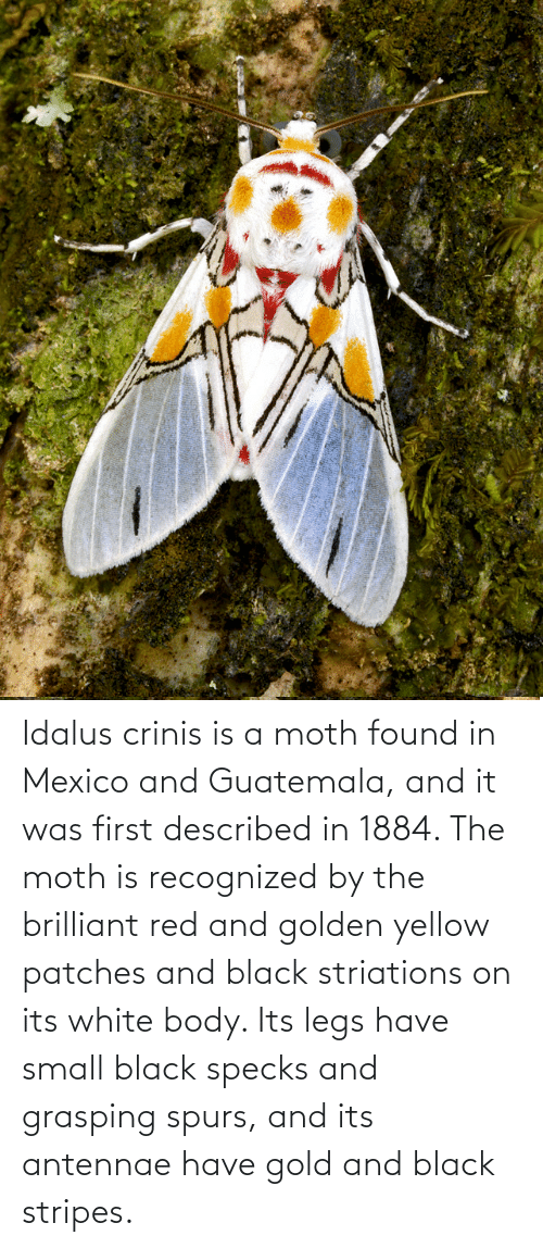 Spurs: Idalus crinis is a moth found in Mexico and Guatemala, and it was first described in 1884. The moth is recognized by the brilliant red and golden yellow patches and black striations on its white body. Its legs have small black specks and grasping spurs, and its antennae have gold and black stripes.