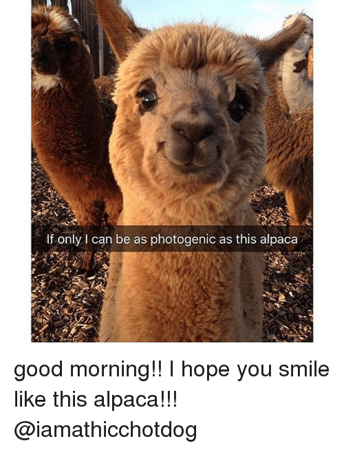 Good Morning, Good, and Smile: If only I can be as photogenic as this alpaca good morning!! I hope you smile like this alpaca!!! @iamathicchotdog