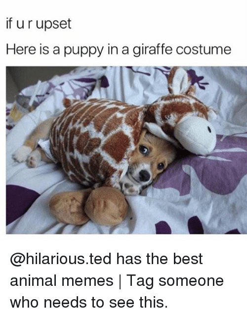Upsetted: if u r upset  Here is a puppy in a giraffe costume @hilarious.ted has the best animal memes   Tag someone who needs to see this.