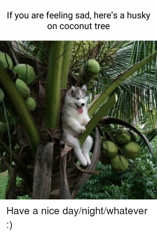 Husky, Tree, and Sad: If you are feeling sad, here's a husky  on coconut tree Have a nice day/night/whatever :)