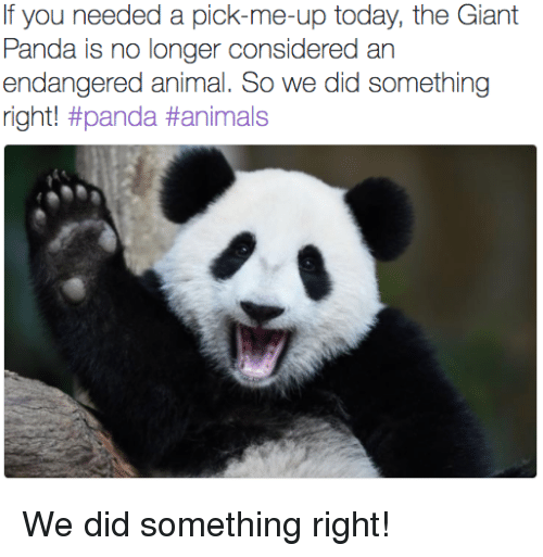 giant panda: If you needed a pick-me-up today, the Giant  Panda is no longer considered an  endangered animal. So we did something  right! <p>We did something right!</p>