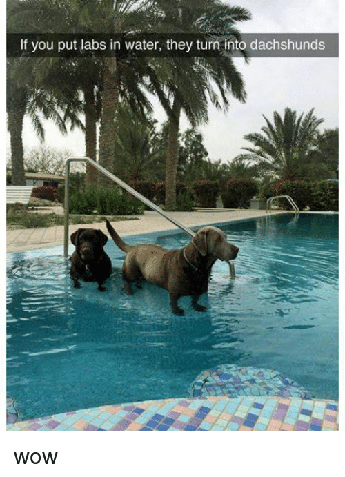 dachshunds: If you put labs in water, they turn into dachshunds wow
