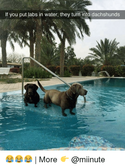 dachshunds: If you put labs in water, they turn into dachshunds 😂😂😂 | More 👉 @miinute