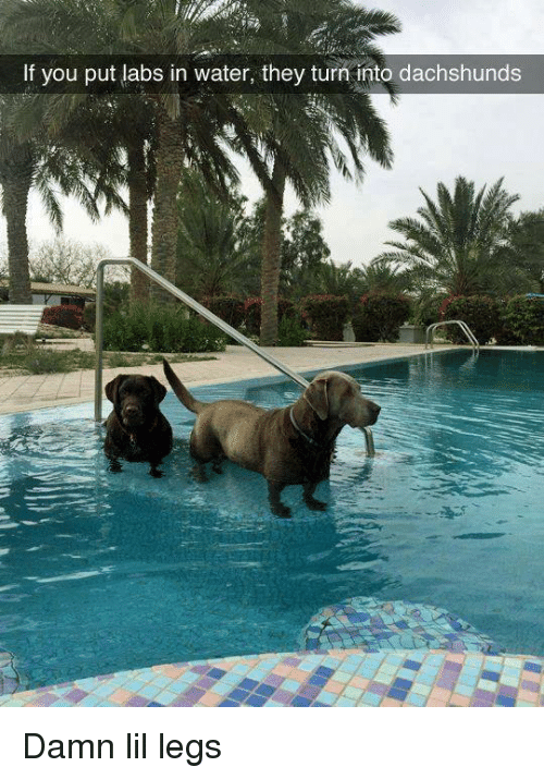 Labs: If you put labs in water, they turn into dachshunds Damn lil legs