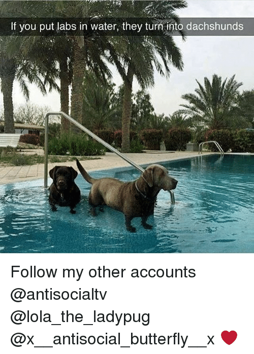 dachshunds: If you put labs in water, they turni into dachshunds  2 Follow my other accounts @antisocialtv @lola_the_ladypug @x__antisocial_butterfly__x ❤️