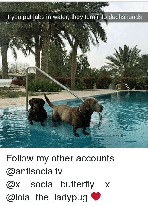 dachshunds: If you put labs in water, they turni into dachshunds Follow my other accounts @antisocialtv @x__social_butterfly__x @lola_the_ladypug ❤️