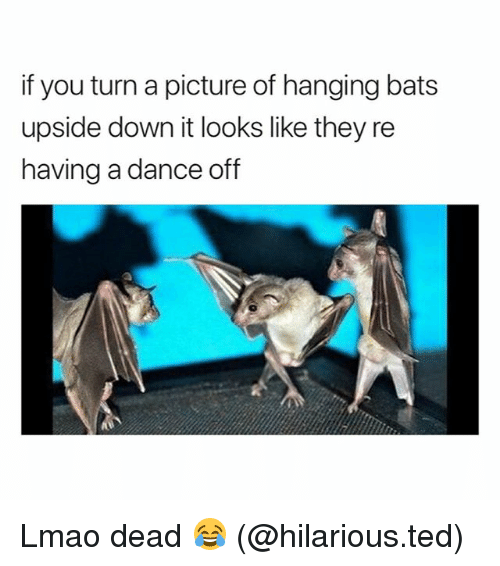 Funny, Lmao, and Ted: if you turn a picture of hanging bats  upside down it looks like they re  having a dance off Lmao dead 😂 (@hilarious.ted)
