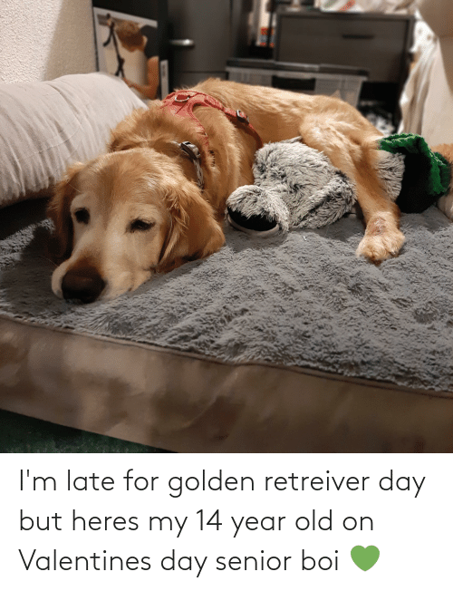 14 Year Old: I'm late for golden retreiver day but heres my 14 year old on Valentines day senior boi 💚