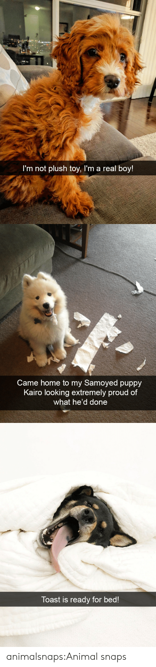 Target, Tumblr, and Animal: I'm not plush toy, l'm a real boy!   Came home to my Samoyed puppy  Kairo looking extremely proud of  what he'd done   Toast is ready for bed! animalsnaps:Animal snaps