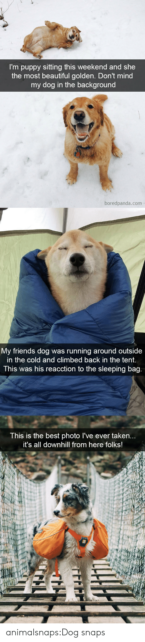 tent: I'm puppy sitting this weekend and she  the most beautiful golden. Don't mind  my dog in the background  boredpanda.com   My friends dog was running around outside  in the cold and climbed back in the tent.  This was his reacction to the sleeping bag.   This is the best photo I've ever taken...  it's all downhill from here follks! animalsnaps:Dog snaps