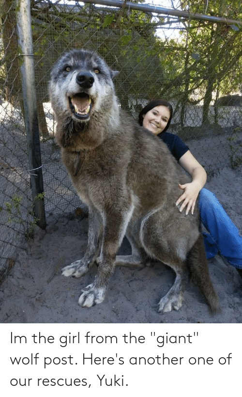 """Giant: Im the girl from the """"giant"""" wolf post. Here's another one of our rescues, Yuki."""