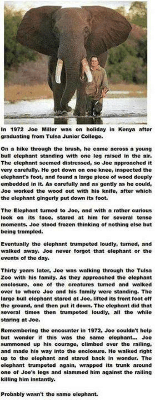 The Encounter: in 1972 Joe Miller was on holiday in Kenya after  graduating from Tulsa Junior College.  on a hike through the brush, he came across a young  bull elephant standing with one leg raised in the air.  The elephant seemed distressed, so Joe approached it  very carefully. He got down on one knee, inspected the  elephant's foot, and found a large piece of wood deeply  embedded in it. As carefully and as gently as he could,  Joe worked the wood out with his knife, after which  the elephant gingerly put down its foot.  The Elephant tumed to Joe, and with a rather curious  ook on its face, stared at him for several tense  moments. Joe stood frozen thinking of nothing else but  being trampled.  Eventually the elephant trumpeted loudly, tumed, and  walked away. Joe never forgot that elephant or the  events of the day.  Thirty years later, Joe was walking through the Tulsa  Zoo with his family. As they approached the elephant  enclosure, one of the creatures tumed and walked  over to where Joe and his family were standing. The  arge bull elephant stared at Joe, lifted its front foot off  the ground, and then put it down. The elephant did that  several times then trumpeted loudly, all the while  staring at Joe.  Remembering the encounter in 1972, Joe couldn't help  but wonder if this was the same elephant Joe  summoned up his courage, climbed over the railing,  and made his way into the enclosure. He walked nght  up to the elephant and stared back in wonder. The  elephant trumpeted again, wrapped its trunk around  one of Joe's legs and slammed him against the railing  killing him instantly.  Probably wasn't the same elephant.