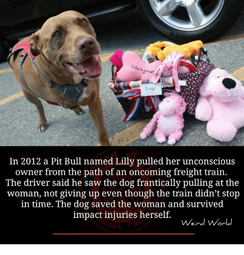 Dogs, Memes, and Saw: In 2012 a Pit Bull named Lilly pulled her unconscious  owner from the path of an oncoming freight train  The driver said he saw the dog frantically pulling at the  woman, not giving up even though the train didn't stop  in time. The dog saved the woman and survived  impact injuries herself.  Weird World