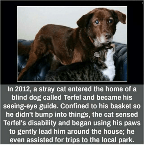 stray cats: In 2012, a stray cat entered the home of a  blind dog called Terfel and became his  seeing-eye guide. Confined to his basket so  he didn't bump into things, the cat sensed  Terfel's disability and began using his paws  to gently lead him around the house, he  even assisted for trips to the local park.