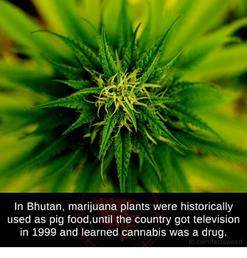 Cannabies: In Bhutan, marijuana plants were historically  used as pig food,until the country got television  in 1999 and learned cannabis was a drug.  fb.com/factsweird