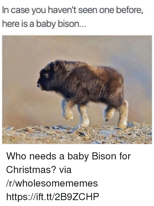 Christmas, Baby, and Bison: In case you haven't seen one before,  here is a baby bison Who needs a baby Bison for Christmas? via /r/wholesomememes https://ift.tt/2B9ZCHP