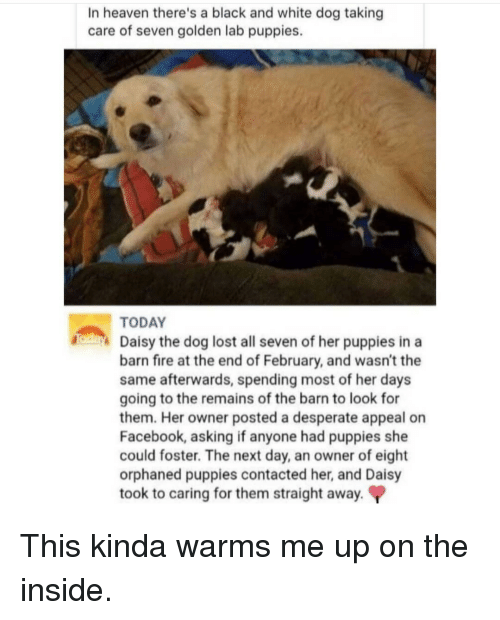 Desperate, Facebook, and Fire: In heaven there's a black and white dog taking  care of seven golden lab puppies.  TODAY  d Daisy the dog lost all seven of her puppies in a  barn fire at the end of February, and wasn't the  same afterwards, spending most of her day:s  going to the remains of the barn to look for  them. Her owner posted a desperate appeal on  Facebook, asking if anyone had puppies she  could foster. The next day, an owner of eight  orphaned puppies contacted her, and Daisy  took to caring for them straight away. This kinda warms me up on the inside.