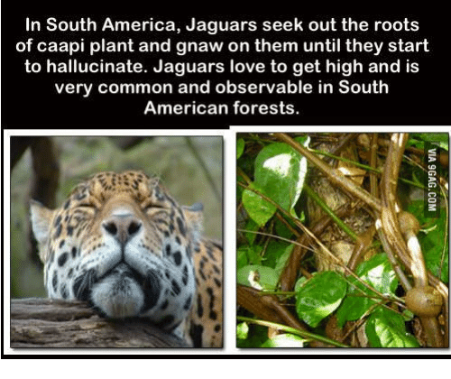 Observative: In South America, Jaguars seek out the roots  of caapi plant and gnaw on them until they start  to hallucinate. Jaguars love to get high and is  very common and observable in South  American forests.