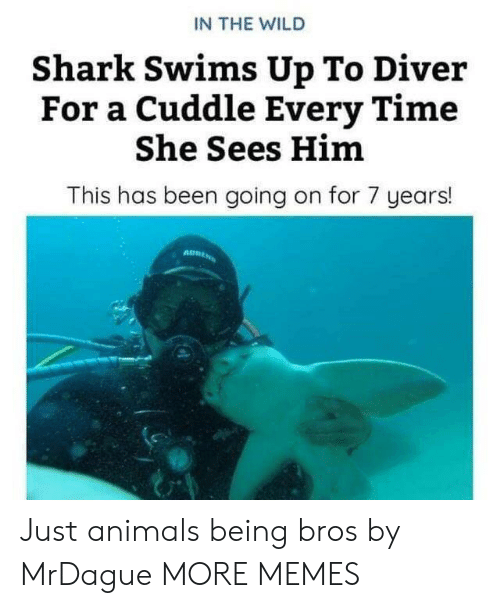 Animals, Animals Being Bros, and Dank: IN THE WILD  Shark Swims Up To Diver  For a Cuddle Every Time  She Sees Him  This has been going on for 7 years! Just animals being bros by MrDague MORE MEMES