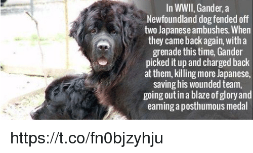 gander: In WWII,Gander, a  Newfoundland dog fended off  two Japanese ambushes. When  they came back again, with a  grenade this time, Gander  picked it up and chargedback  at them, killing more Japanese,  saving his wounded team,  going out in a blazeof glory and  earning aposthumous medal https://t.co/fn0bjzyhju
