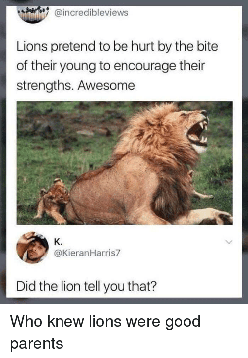 Parents, Good, and Lion: @incredibleviews  Lions pretend to be hurt by the bite  of their young to encourage their  strengths. Awesome  K.  @KieranHarris7  Did the lion tell you that? <p>Who knew lions were good parents</p>