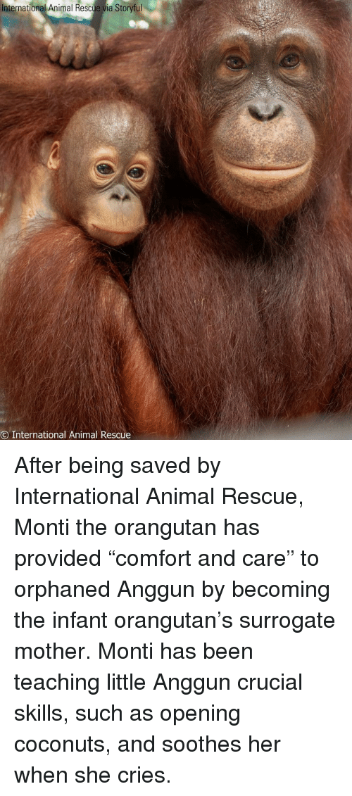 """anggun: International Animal Rescue via Storyful  O International Animal Rescue After being saved by International Animal Rescue, Monti the orangutan has provided """"comfort and care"""" to orphaned Anggun by becoming the infant orangutan's surrogate mother. Monti has been teaching little Anggun crucial skills, such as opening coconuts, and soothes her when she cries."""