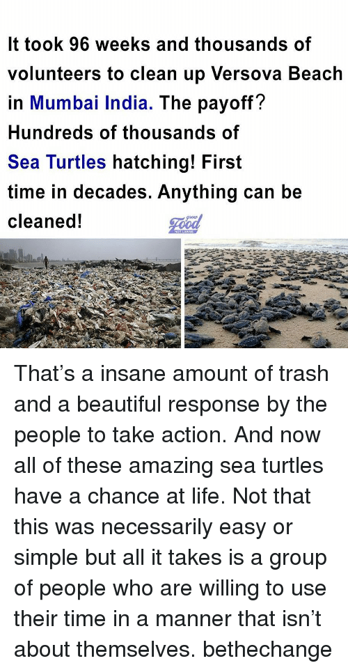 Beautiful, Life, and Memes: It took 96 weeks and thousands of  volunteers to clean up Versova Beach  in Mumbai India. The payoff?  Hundreds of thousands of  Sea Turtles hatching! First  time in decades. Anything can be  cleaned! That's a insane amount of trash and a beautiful response by the people to take action. And now all of these amazing sea turtles have a chance at life. Not that this was necessarily easy or simple but all it takes is a group of people who are willing to use their time in a manner that isn't about themselves. bethechange